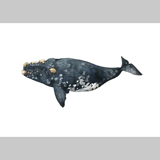 Angelica Sollander - Poster, The Callosity Whale